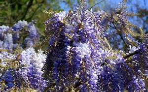 the wisteria flowers